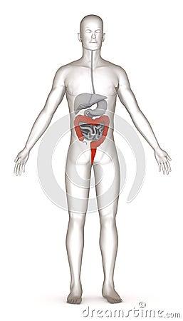 Digestive system - large intestine
