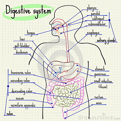 Digestive System Of Man Stock Vector - Image: 56772045