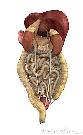 Digestive Tract - from Behind
