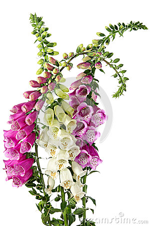 Free Digitalis Royalty Free Stock Images - 27494559