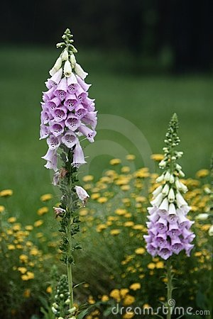 Free Digitalis Purpurea Royalty Free Stock Images - 5453379