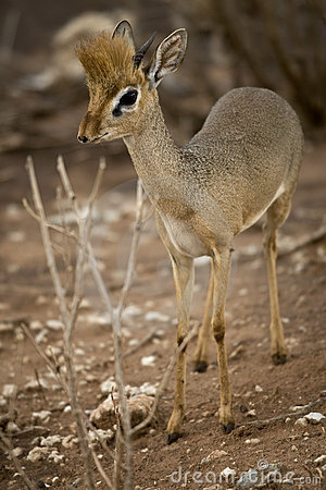 Dik dik standing, Tanzania