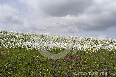 Dike with daisies and cuckoo flowers.