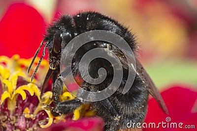 Diligent bumblebee