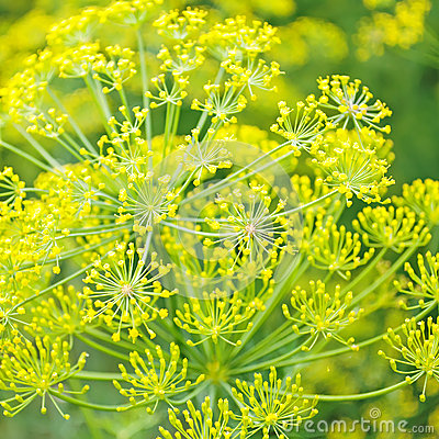 Dill. flowers of dill