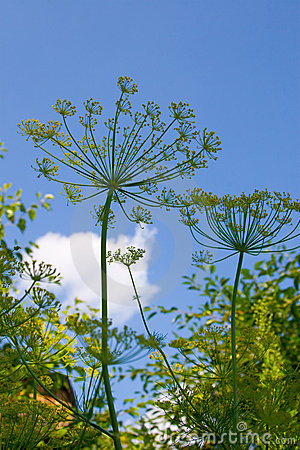 Dill grows in the garden