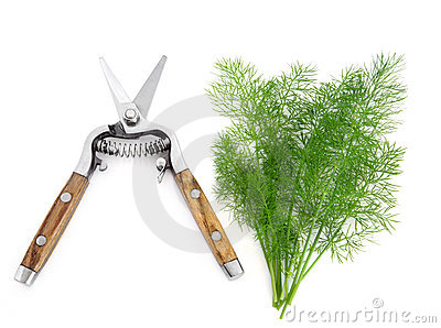 Dill Herb and Secateurs