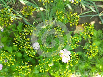 Dill yellow flower Stock Photo