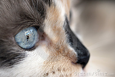 Dilute calico closeup