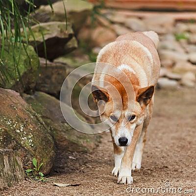 Dingo Front