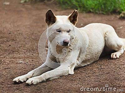 Dingo Lay