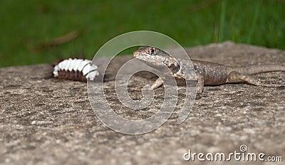 Dinner for Lizard
