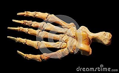 Dinosaur leg fossils