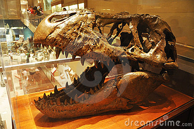 Dinosaur Skull in Washington Museum Editorial Stock Image
