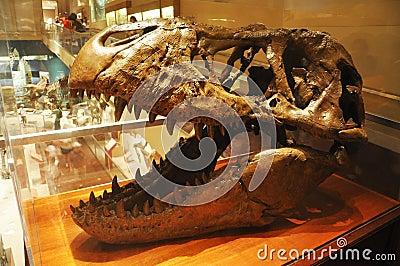 Dinosaur Skull in Washington Museum Editorial Stock Image