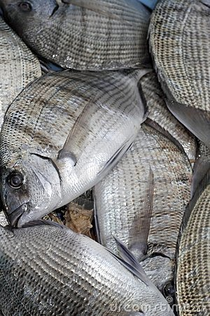Diplodus Sargus white seabream fish