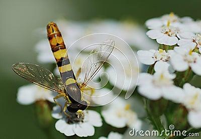 Dipteran like wasp