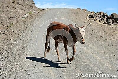 Dirt Road Cow