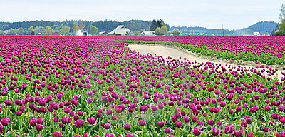 Dirt Road in the Tulip Field