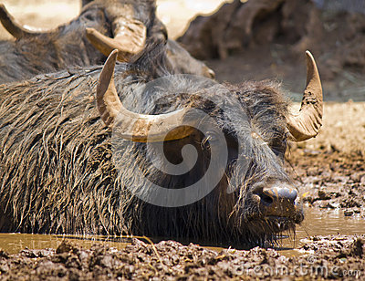A dirty buffalo in the mud