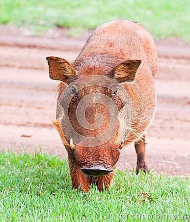 Dirty female Warthog