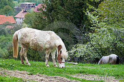Dirty horse eating grass