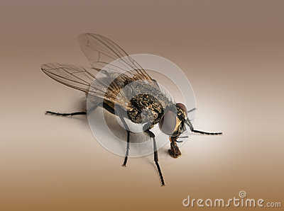 Dirty Housefly, Musca domestica on brown background
