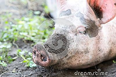 Dirty pig nose