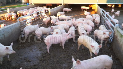 Dirty pigs on a farm in the mud. Under the sun stock video