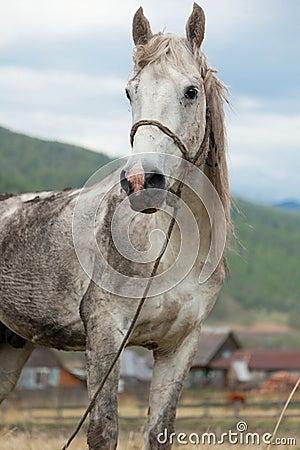 Dirty white horse sta