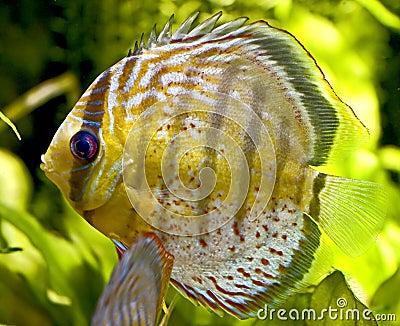 Discus fish 1
