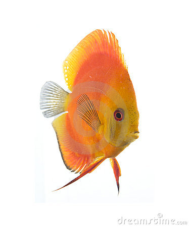 Discus - King of the aquarium