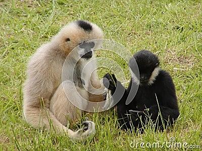 Discussione della scimmia
