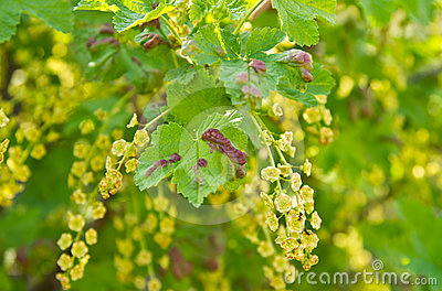 Disease of currants