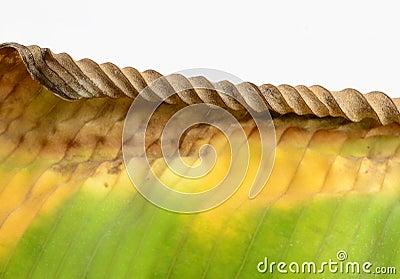 ِDiseased leaf