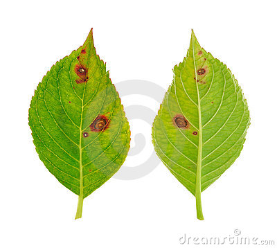 Diseased leaf of  Hydrangea serrata Blue Bird - fu