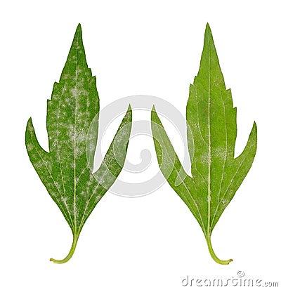 Diseased leaf of  Rudbeckia laciniata flore pleno
