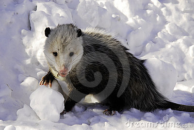 Disgusting Possum