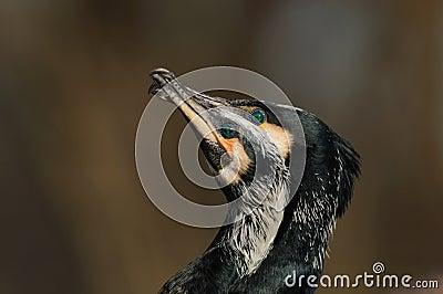 Display of Great Cormorant