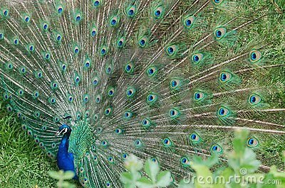 Displaying Peacock