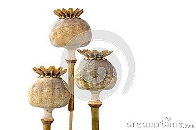 Tre capsule del seme di papavero in primo piano, isolato su bianco