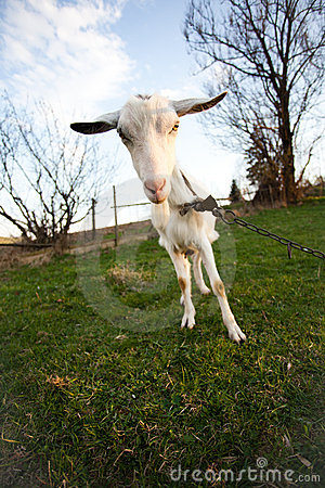 Distorted goat