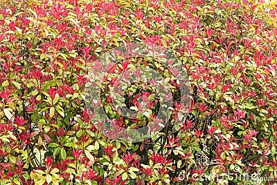 Haag rood blad
