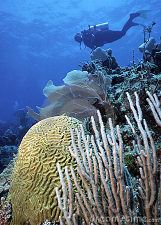 Diver and Brain Coral