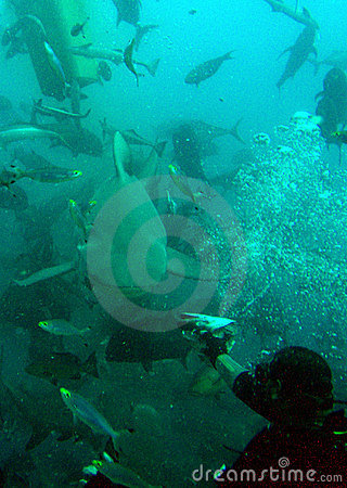 Diver feeding a shark