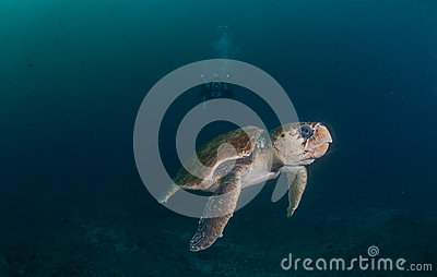 Diver photographing Hawksbill turtle underwater