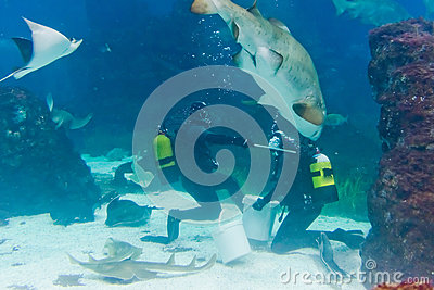 Divers with sand tiger shark