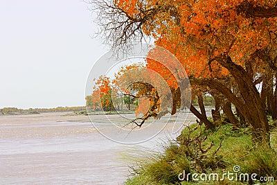 Diversifolious Poplar near water