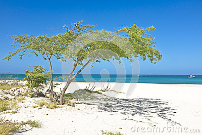 Divi divi tree on Aruba island
