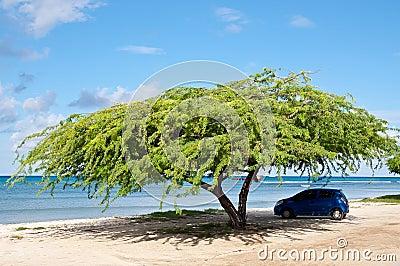 Divi-Divi Tree. Sea. Ocean. Tropics. Caribbean.